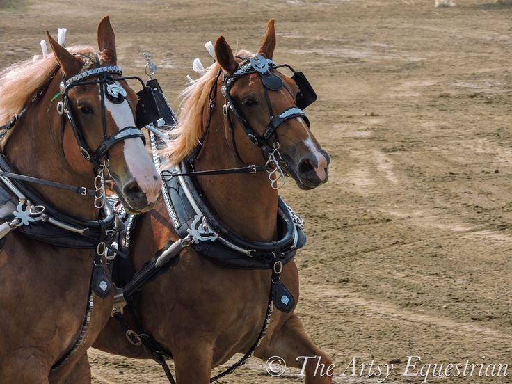 Team Belgian draft horses.    © The Artsy Equestrian (me) Feel free to re-pin this photo, but DO NOT alter my watermark in any way.