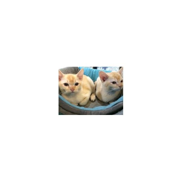 Home > CATS > Cats For Sale > Burmese Kittens - #smallcat- See more stunning Burmese Cat Breeds at Catsincare.com!
