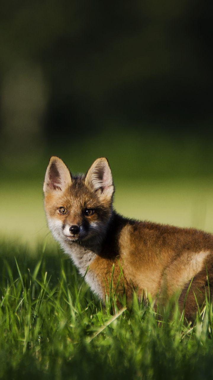 Fox Baby Cute Animal Predator Stare 720x1280 Wallpaper