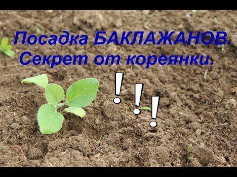 Посадка баклажанов. Секрет урожая от кореянки. Часть I. - YouTube