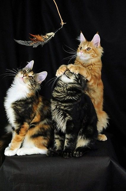 """Calico: """"Awww....I want it...""""  Grey Tabby: """"Um! I can't see!""""  Orange Tabby: """"It's not something you would want! Because I want it!"""""""