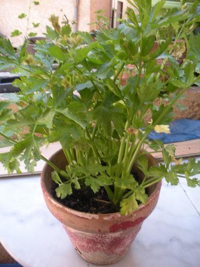 CELERI : semez à l'intérieur de JANVIER à février. Repiquez ensuite en avril ou mai pour une récolte en été. Qqs h de soleil par jour suffisent. Le céléri aime les sols riche. Pour couper une branche, coupez bien à la base du pied et non la feuille. Une nouvelle branche repoussera au pied plus tard.