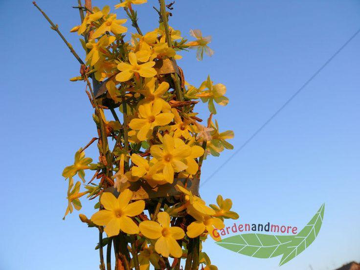 winterjasmin Jasminum nudiflorum gelbe Blüten 80-100 cm