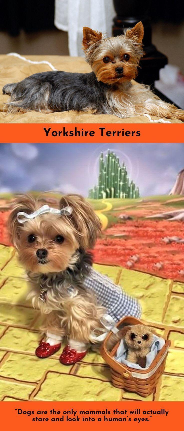 Wake Up Hug Dog Have A Good Day Yorkshire Terriers Yorkshireterrier Yorkielove Yorkshire Terrier Yorkshire Terrier Dog Terrier
