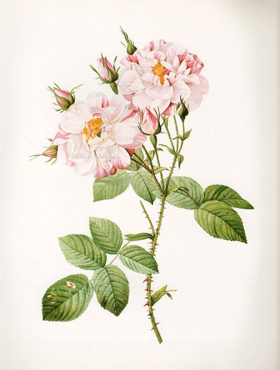 Vintage Botanical Print Antique YORK ROSE, plant print botanical print, bookplate art print, roses flowers plants plant wall