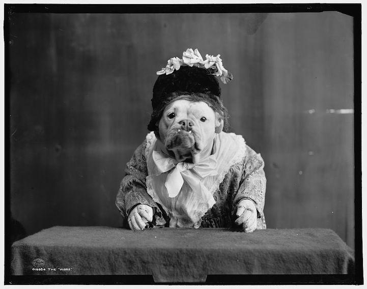 Funny Scenes with Old Fashioned Bulldogs
