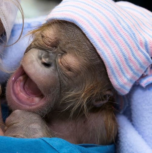 A male Sumatran Orangutan infant born at Zoo Atlanta on January 10 came into the world in an unusual way: he was delivered by Caesarean section with the help of human obstetricians, neonatologists, and veterinary anesthesiologists.