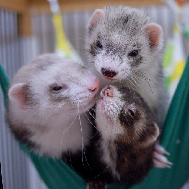 38 Best Images About Ferrets On Pinterest Amigos Day