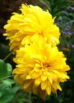 Rudbeckia x 'Goldquelle'  Golden Fountain Cutleaf Coneflower  aka, Gold Drops