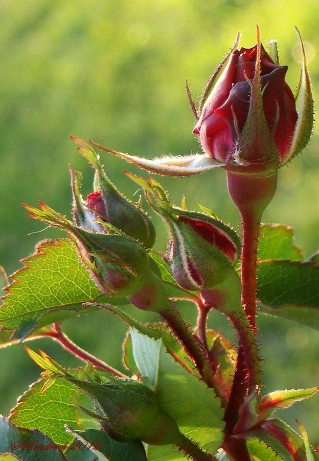 Rose Buds by Silvia Sandrock on 500px