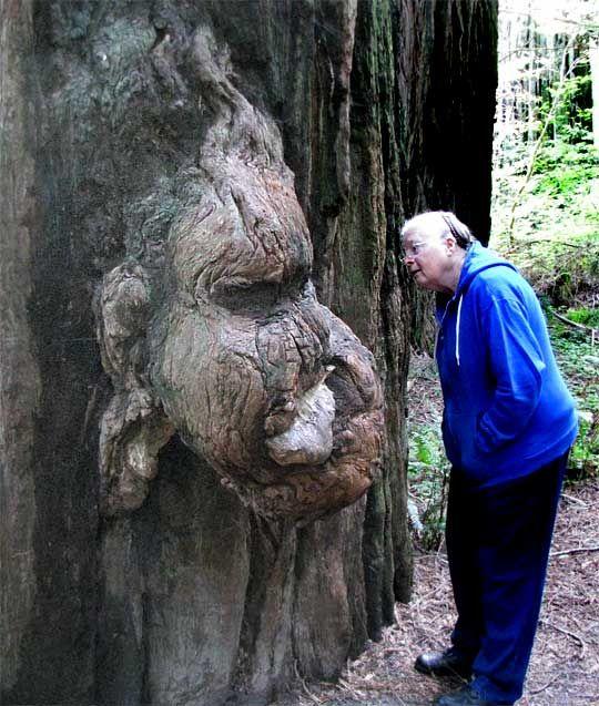 sequoia tree logging | Redwood, SEQUOIA SEMPERVIRENS