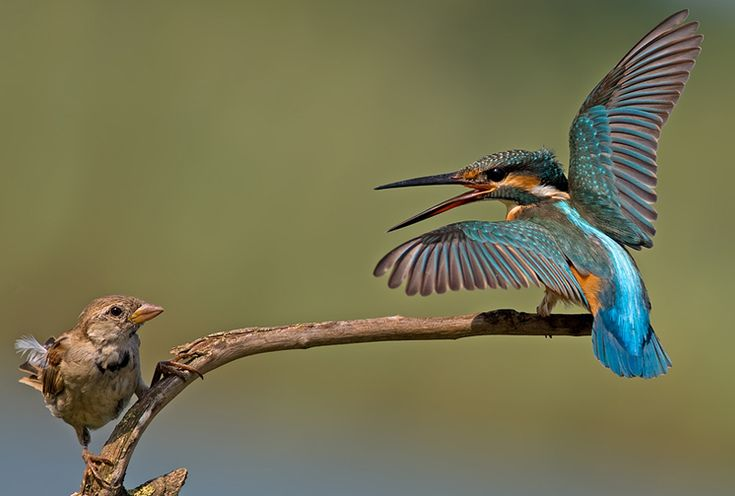 Common Kingfisher vs House Sparrow - incredible snaps ... - photo#45