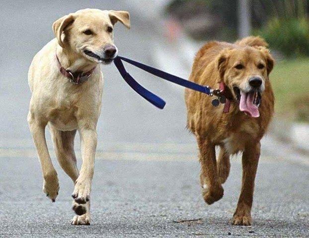 Porque o cachorro não quer passear?