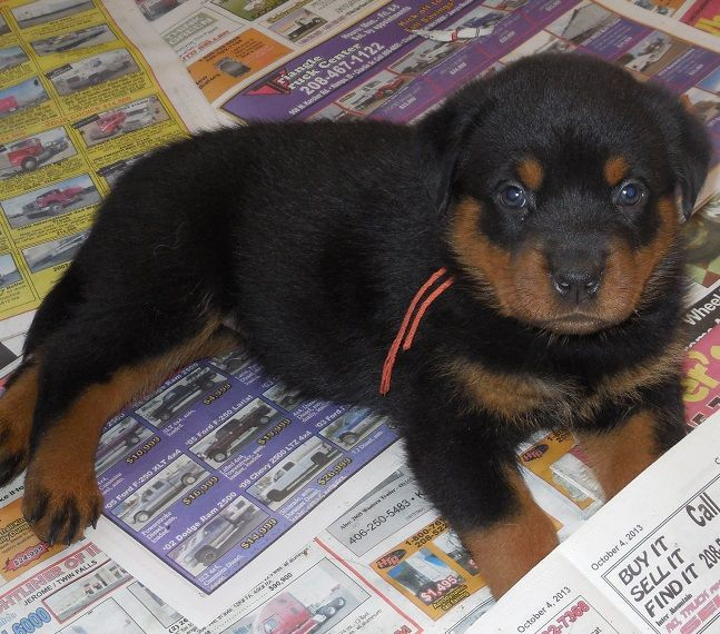 Rottweiler Puppies For Sale In Michigan Zoe Fans Blog