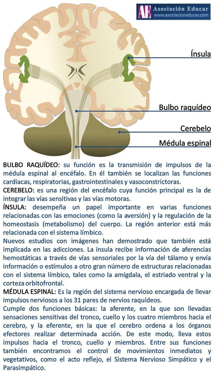 Infografía Neurociencias: Ínsula; Bulbo raquídeo; Cerebel; Médula espinal. | Asociación Educar