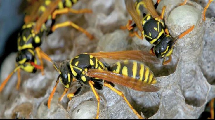 This remedy is a perfect solution to the query, How to get rid of wasps? White vinegar is one of the best natural options for killing wasps.