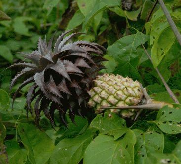 Ananas ananassoides (possible wild pineapple relative)   'Hawaiian King ' – large, smooth-leaved • 'Honey Gold' – large fruit up to 7 kg • 'Smooth Cayenne' – spineless, grown in Hawaii • 'Queen' – spiny, used in Malaysia and Kenya • 'Red Spanish' – used in the West Indies • 'Porteanus' – leaves with central yellow stripe • 'Variegatus' – leaves variegated with longitudinal yellow stripes, sometimes marked red