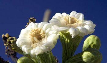 Цветок кактуса сагуаро - символ штата Аризона