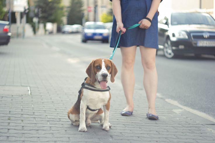 Beagle / street photography