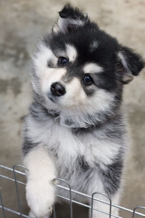 Finnish Lapphund Puppies Stop A Dog From Eating Feces Naturally