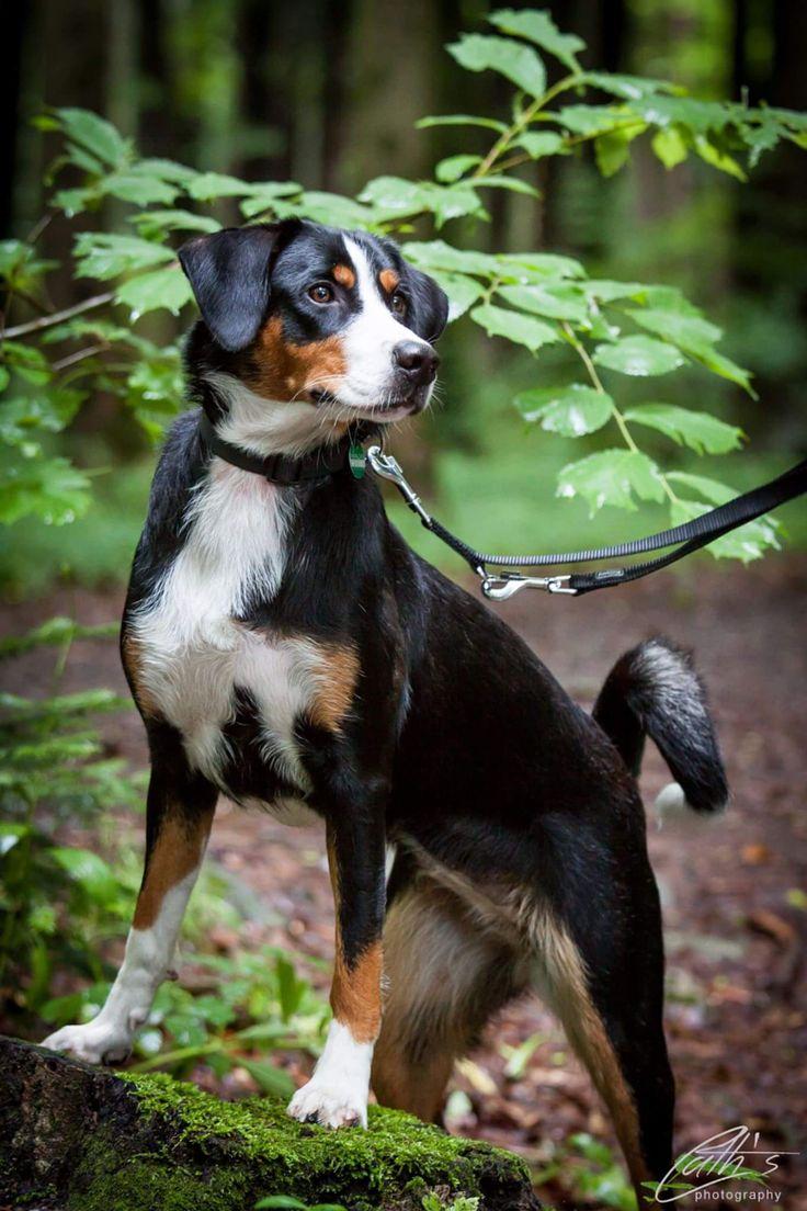Appenzeller Sennenhund. Eine wunderschöne Rasse, stark und braucht eine geübte Führung.