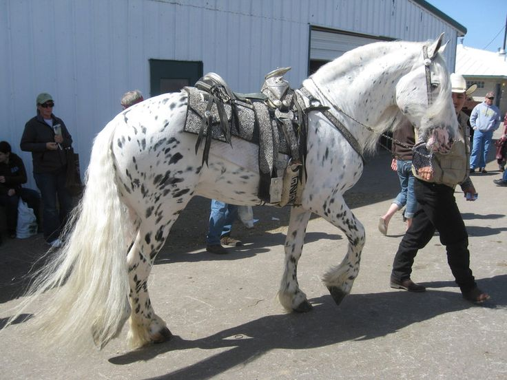 Mystic Warrior - Friesian Appaloosa (He's much lighter now than when he was a colt.)