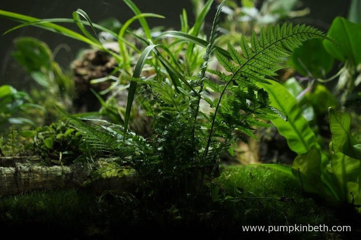 Polystichum tsussimense, pictured inside my BiOrbAir terrarium on the 16th September 2016. This fern was included in my original planting of this terrarium on the 25th September 2014. In the two years since I originally planting this terrarium, I have divided this fern, and moved it many times. This Polystichum has thrived inside the BiOrbAir terrarium.