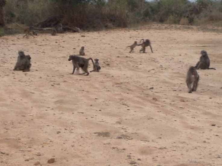 Kruger Extension 2013 - Our first view of monkeys (22/8/13).