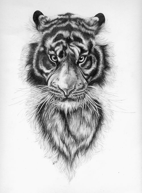 Tiger, pencil on paper, 2013