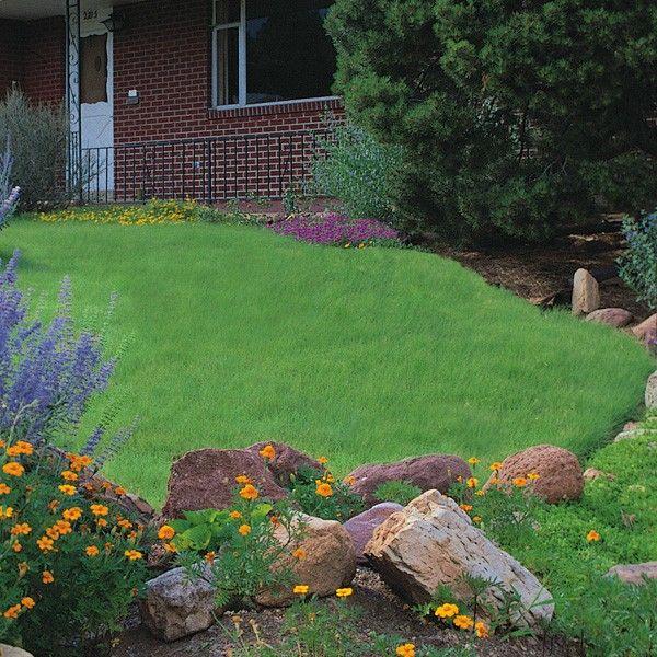 Green Grass Lawn Care Nebraska : Root plugs buchloe high spur grass