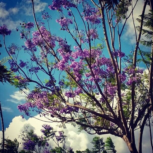 Jacaranda trees in Machakos are in full bloom now with beautiful, purple flowers. Did you know our wooden Mifuko birds and bunnies are carved out of fallen twigs and branches of these pretty trees?