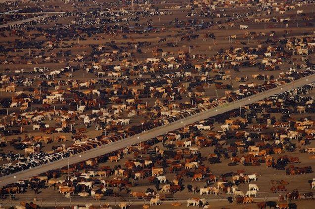 Feedlot à proximité de Bakersfield, Californie, États-Unis (36°19'N - 120°16'O).  Comment produire de la viande à grande échelle sans un millimètre d'herbe.  Photo de Yann Arthus Bertrand