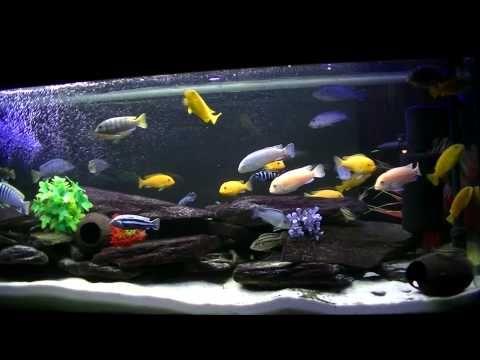 Pyszczaki Mój Kawałek Malawi Youtube Akwarium Aquarium
