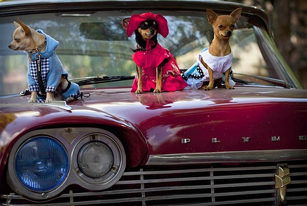 Chihuahuas sit on the hood of a car at the Fall Canine Expo in Havana, Cuba.