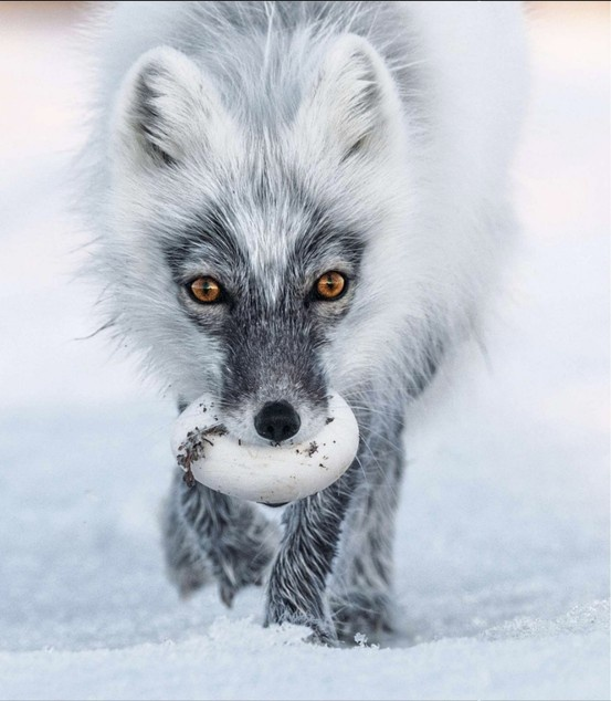 Arctic fox stealing a snow goose egg. National Geographic, May 2013.