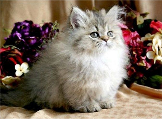 Adorable Grey and white Fluffy Kitten