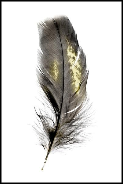 Yellow-tailed black cockatoo feather print - bird photography print by nature photographer and wildlife carer Angela Roberston-Buchanan. #lifebetterwithart