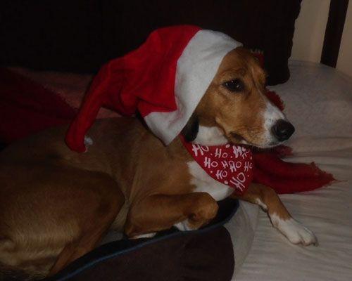 Σκυλίσιες ευχές για τις γιορτές των Χριστουγέννων από την Μάρσα το κυνηγόσκυλο Πόσεβιτς σε όλα τα σκυλάκια του πλανήτη! Κι ένα τρυφερό video που θα αγγίξει τις καρδιές σας! Καλά Χριστούγεννα!
