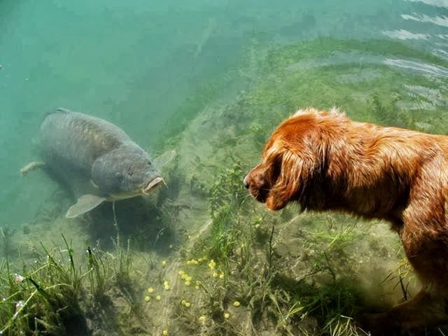 Carp vs dog! I just love this picture...  See more great pictures at http://bestbaitforcarpfishing.com/carp-gallery