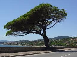 """arbre """"Pin Parasol"""""""