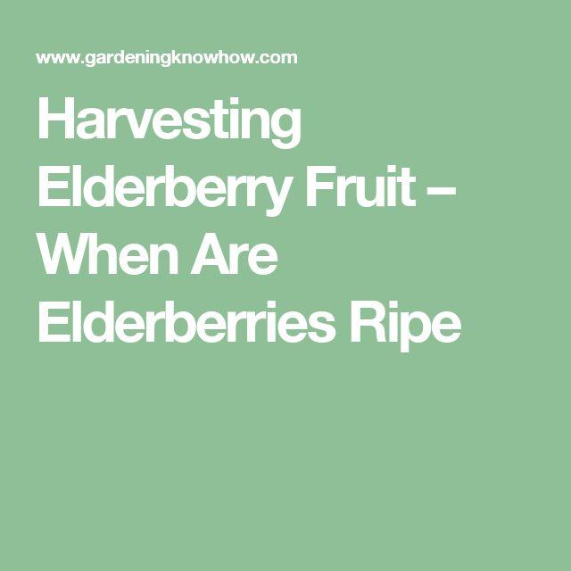 Harvesting Elderberry Fruit – When Are Elderberries Ripe