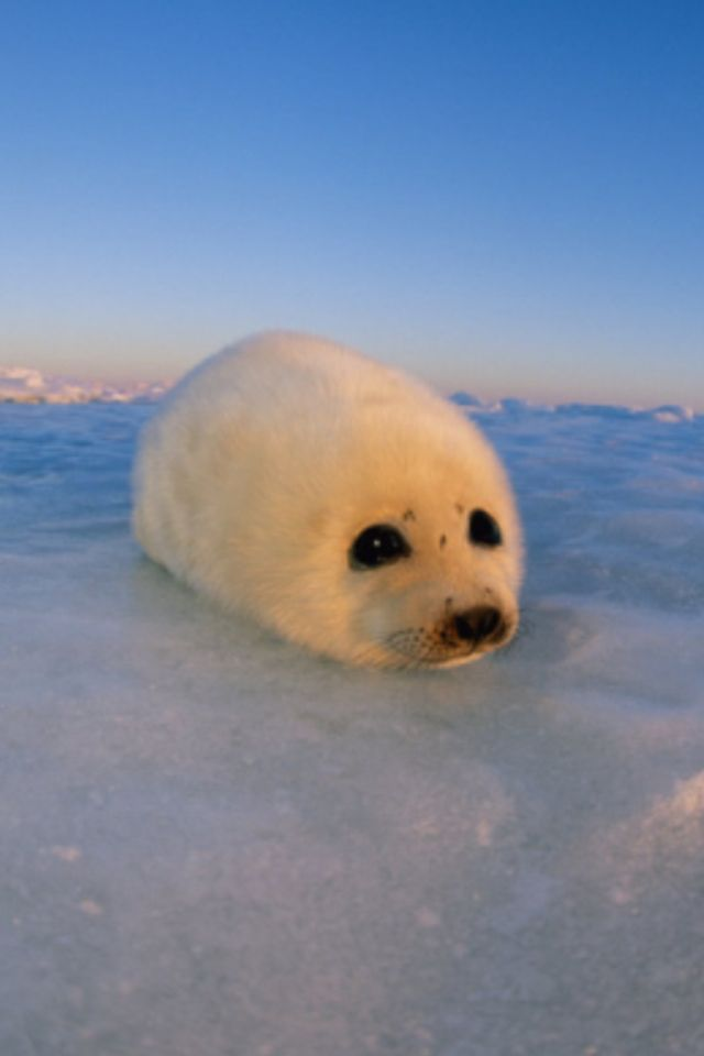Baby harp seal | Cuteness | Pinterest | More Baby harp ...