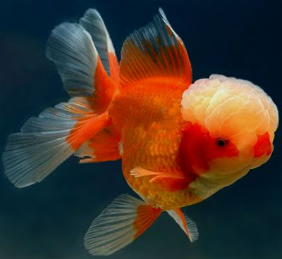 314 best images about gotta love fantail goldfish on for What fish can live with goldfish in a pond