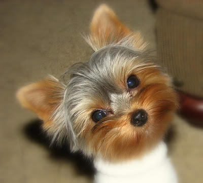 And this is why Yorkies are the best! ADORABLE<3