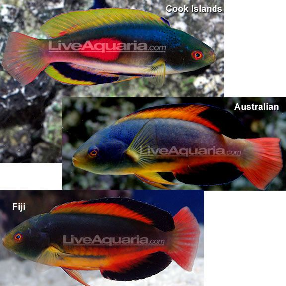 Scott S Fairy Wrasse Reef Safe Saltwater Aquarium Fish Saltwater Aquarium Fish Wrasse Aquarium Fish