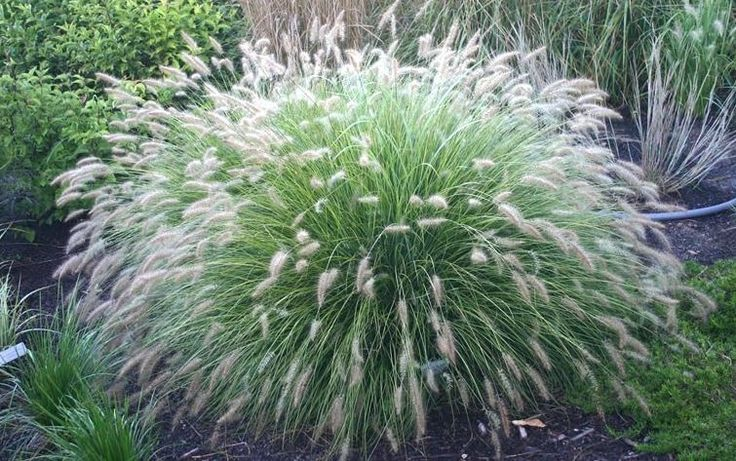 Pennisetum 'Little Bunny'  H 40cm S 50cm. Dwarf Fountain Grass. Compact clump forming perennial grass with arching leaves. In late summer and authum bristly, creamy white flower spikes appear.