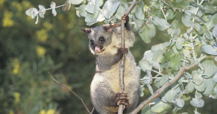 A dispersão das sementes das árvores de eucalipto. Eucalipto é um grande gênero de arbustos e árvores, quase todos nativos da Austrália. As plantas vivem em vários locais, onde as condições são inóspitas. Isto fez com que desenvolvessem continuamente várias adaptações para a sua sobrevivência. Uma delas é o seu método de dispersão de sementes. A maioria das plantas usa pássaros, vento, água ou ...