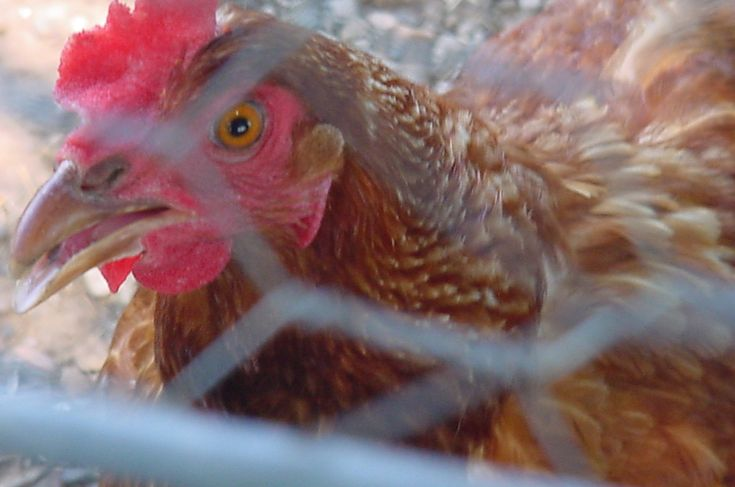 8 Things You Need to Know About Raising Chickens - MoneySavingQueen - March 2012