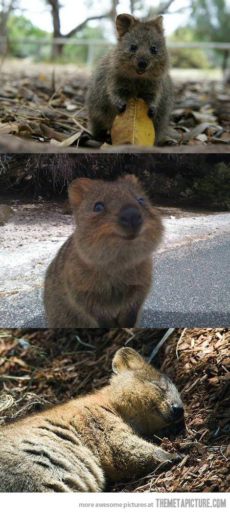 This is a Quokka, the happiest thing on the planet…themetapicture: This marsupial, the size of a domestic cat, looks like a small kangaroo but can climb trees and is found in a small area in the South-West of Western Australia. http://en.wikipedia.org/wiki/Quokka #Quokka #Marsupial #Australia