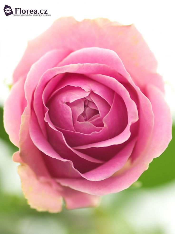 Rosa Wham #ruze #roses #ruzovaruze #ruzewham #wham #rosewham #florea #florea.cz #pinkrose